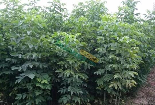 米径5公分青竹复叶槭