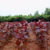 工程绿化彩叶红叶杨苗