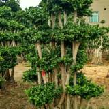 小叶榕组合枞林,榕树桩景