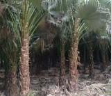 3-4米高蒲葵  头颈35-45公分  蒲葵价格