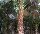 4米高蒲葵头颈45   蒲葵价格