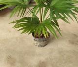 80高蒲葵 1米高蒲葵 蒲葵价格