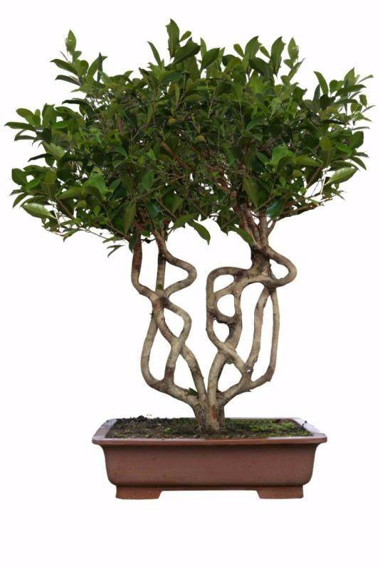 字型盆景(榕树)