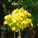 普利斯顿黄金枫