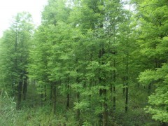 4-15公分水杉價格