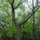 南京12公分15公分18公分20公分黄连木价格