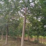 10-20公分,朴树
