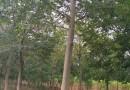 20公分高水杉