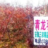 青龙羽毛枫
