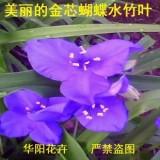 金芯蝴蝶水竹叶四季兰紫露草假兰花盆栽宿根花卉蓝色花朵如铃奇趣