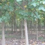 8公分12公分15公分20公分马褂木价格