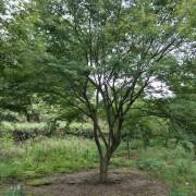 鸡爪槭 大规格20公分以上