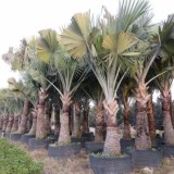 1米2米3米4米5米6米棕榈价格表