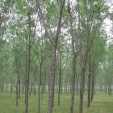 8公分10公分15公分18公分20公分构树价格