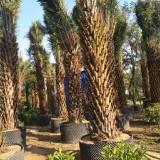 中东海枣,福建中东海枣大量供应,杆高2.5米