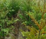 高度50公分红豆杉小苗 ,80公分高红豆杉 基地直销