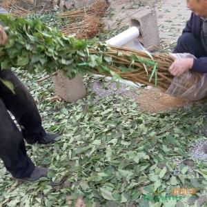 李子树苗价格蜂糖李子树苗多少钱一棵泰安供应李子树苗