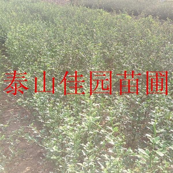 枸橘树苗价格蜜桔砧木枸橘树苗多少钱一棵泰安供应枸橘树苗