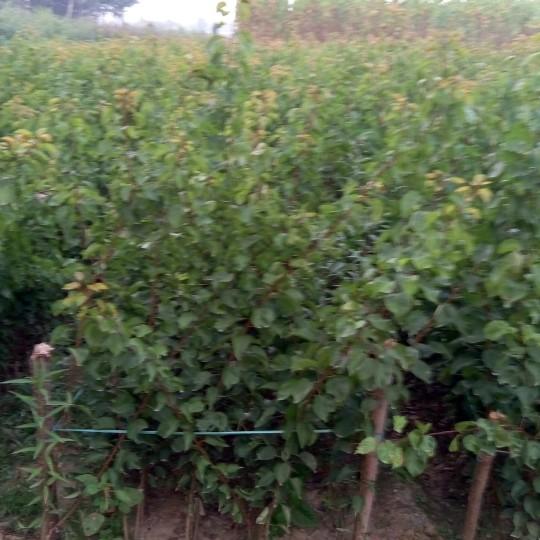 杏树苗价格嫁接新品种杏树苗多少钱一棵泰安供应丰产杏树苗