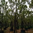 香樟,福建香樟,高度4米