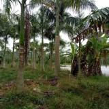 大王椰子,杆高4米5
