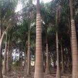 大王椰子,杆高5米,