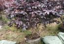 红花继木球,冠幅80cm