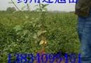 红叶李5-20公分