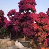 三角梅紫色桩景(高度2米)