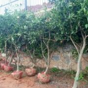 5公分桔子树 6公分桔子树 基地直销