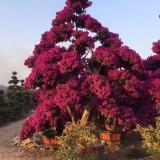 三角梅紫色桩景(高度2米5)