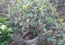 红叶石楠球(地径10厘米)