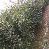 泡柑树苗出售
