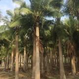 国王椰子(杆高5米)