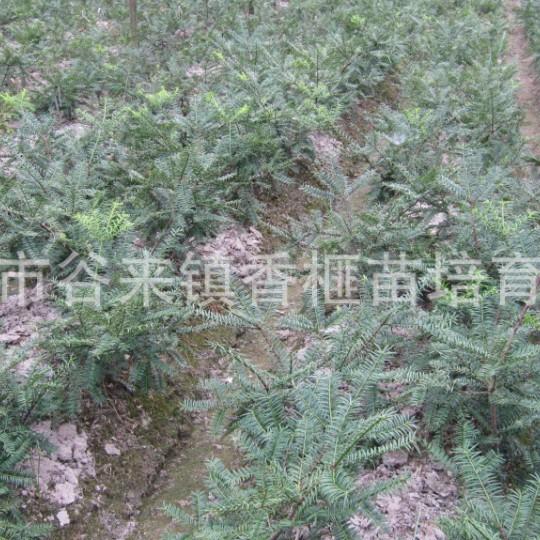 香榧苗地径2-3公分