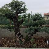 老桩榆树盆景