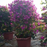 1米高漳州紫三角梅  紫花三角梅