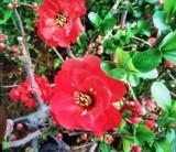 长寿冠海棠