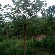 10公分马褂木价格 马褂木产地 基地直销