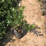 小叶栀子花,高度(25-30cm)地被苗