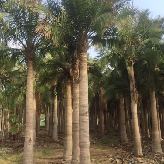 国王椰子(杆高4米)