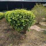 黄金榕球,冠幅(60cm)