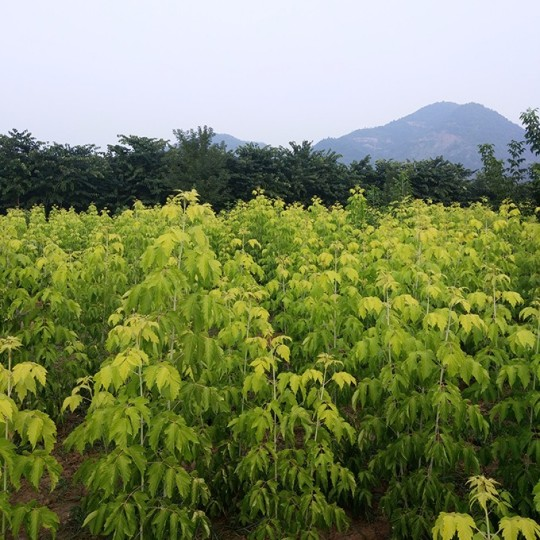 150公分金葉復葉槭