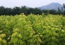 150公分金叶复叶槭