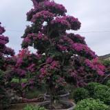紫色盆景三角梅,紫花三角梅,云南紫三角梅
