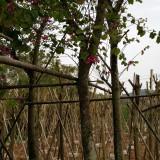 羊蹄甲 洋紫荆(米径10厘米)