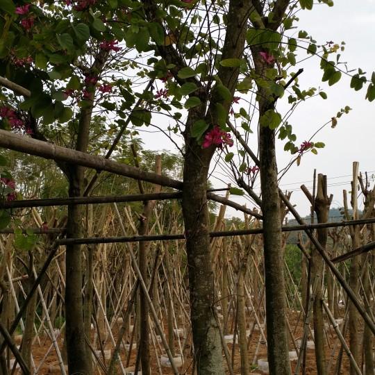 羊蹄甲 洋紫荊(米徑10厘米)