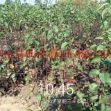 梨树苗价格嫁接梨树苗价格泰安供应高产品种梨树苗