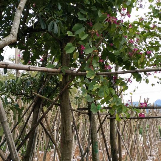 羊蹄甲 洋紫荊(米徑5厘米)