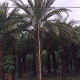 中东海枣(杆高4米)